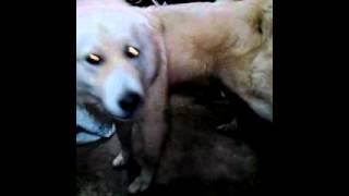 Τσοπανόσκυλο ελληνικό!!! Υπακοή στο τάισμα!!!