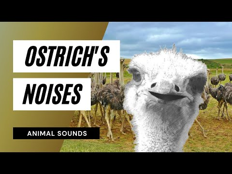 The Animal Sounds: Ostrich - Sound Effect - Animation ...