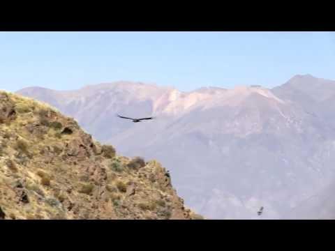 Colca Canyon (Peru) - Flight of the Condor