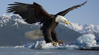 Documentaire animalier - Le Grand Aigle De Mer - national geographic documentary
