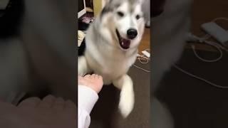 シベリアンハスキーの文太は、遊びたい時など、本犬なりに忙しい時にお...