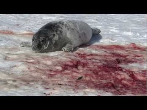 Grey Seal Hunt: Hay Island Slaughter 2011 (GRAPHIC)