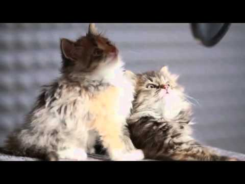 Cute Cats singing Yiruma - River flows in you
