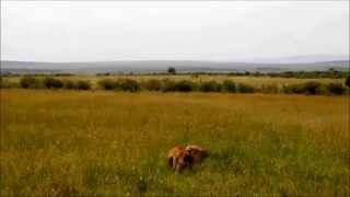 Гиена наглое дикое животное
