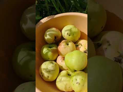 Яблочный Спас или Антоновка Золотая