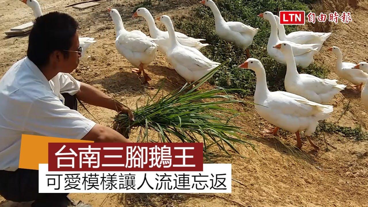 三腳鵝王 小南海人氣旺 - YouTube