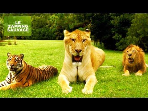 Le ligre, croisement lion tigre et plus gros félin du monde - ZAPPING SAUVAGE