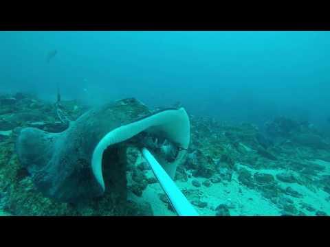Stingray feeding behaviour recorded using BRUV  (Príncipe Island, project OMALI VIDA NÓN)