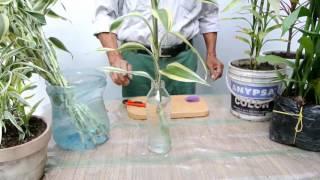 Aprendiendo más sobre el Lucky bamboo