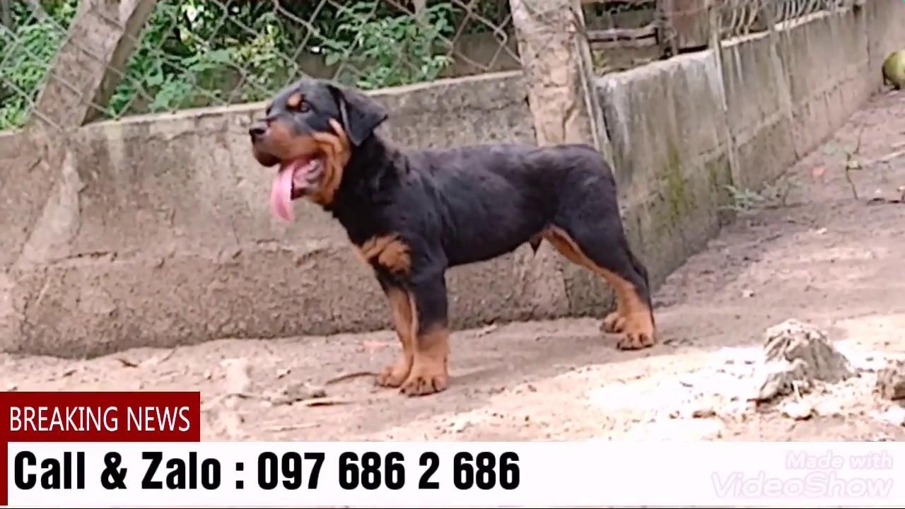 Bán chó rottweiler 2 tháng tuổi | Xuất đàn rottweiler tại Sài Gòn 097 686 2 686