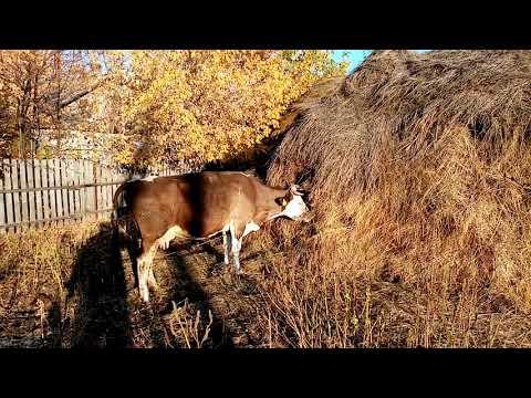 У коровы пропала жвачка