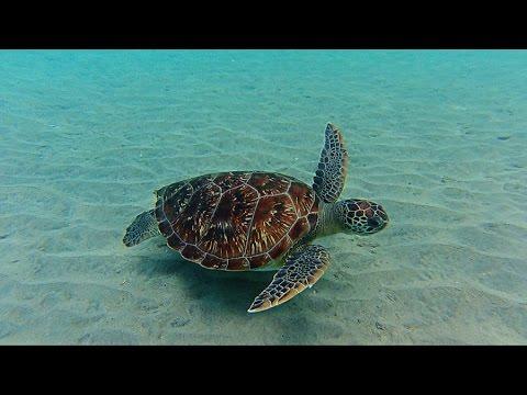 Martinique 2015 rencontre avec les tortues de mer hd - Images tortue ...