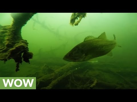 Sunken GoPro captures eerie footage and large, curious bass
