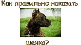 Как правильно наказывать щенка?(Начнем понимать щенка и его желания и мотивы- а потом решим нужно ли его наказывать или есть другой выход?..., 2015-05-24T11:20:49.000Z)