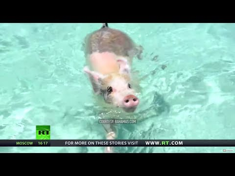 'Pure ignorance': Concerns raised over treatment of swimming pigs in Bahamas