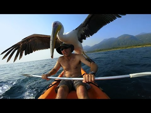 Thumbnail: GoPro: Pelican Learns To Fish