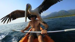 「ほら、ちゃんとお魚捕まえてきたよ!」人間といっしょに魚の捕り方を練習しているペリカン