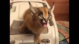 同じニャーでも意味が違うんだからおまえら覚えておくように。猫の11種の鳴き方とその意味、対処法。