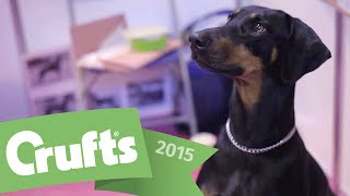 Best Of Breed - Dobermann And Winner's Interview | Crufts 2015