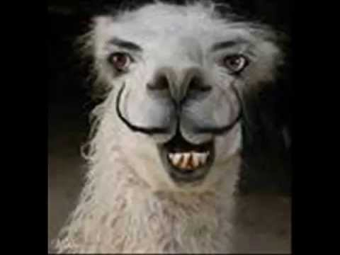Hilarious Llama Pictures funny llama pictures -...
