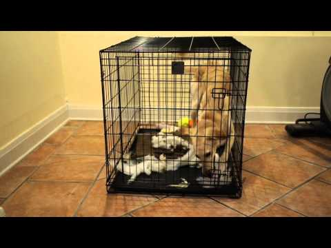 Saluki has Severe Separation Anxiety in Crate