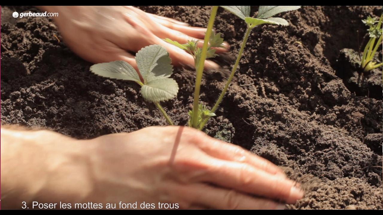 Comment Entretenir Les Fraisiers En Automne fraisiers : conseils pour bien les planter au printemps