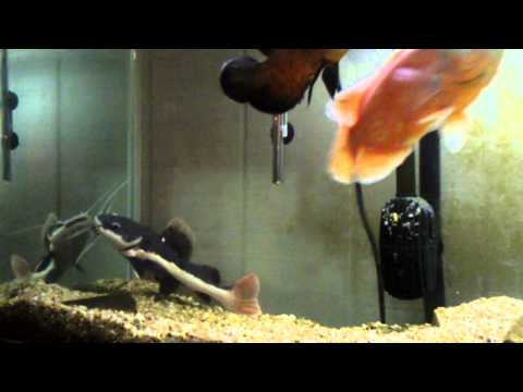 Large Red Tail Catfish Tank from YouTube · High Definition · Duration:  1 minutes 14 seconds  · 28,000+ views · uploaded on 10/29/2013 · uploaded by Animal Breeds