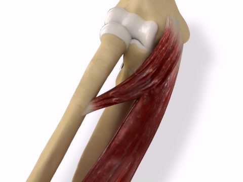 muscle of medial epicondyle: common flexor and pronator teres, Human Body