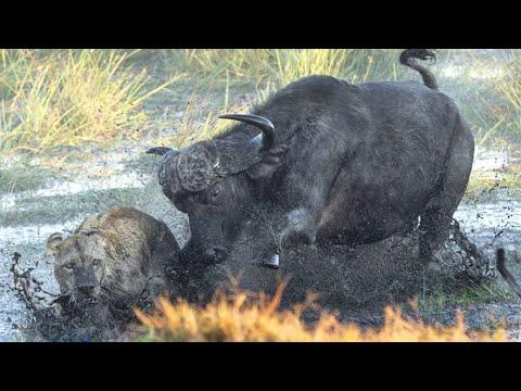 Буйвол в Деле... Огромные быки против львов, носорогов и даже туристов!