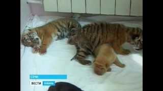 В Сочи тигры породнились с собаками