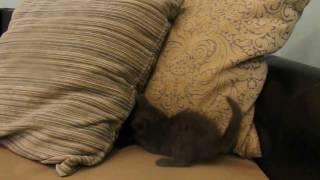 котята интересно играют между собой. отдам в дар!т. (8362)993-949
