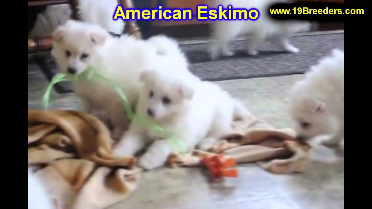 American Eskimo, Puppies, For, Sale, In, Edmond, Oklahoma, OK, Cleveland,  Comanche, Canadian, Rogers