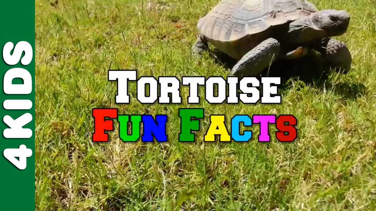 Uncategorized Tortoise Pictures For Kids tortoise fun facts 4 kids youtube