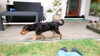 Airedale Terrier puppy seeing a pigeon for the first time