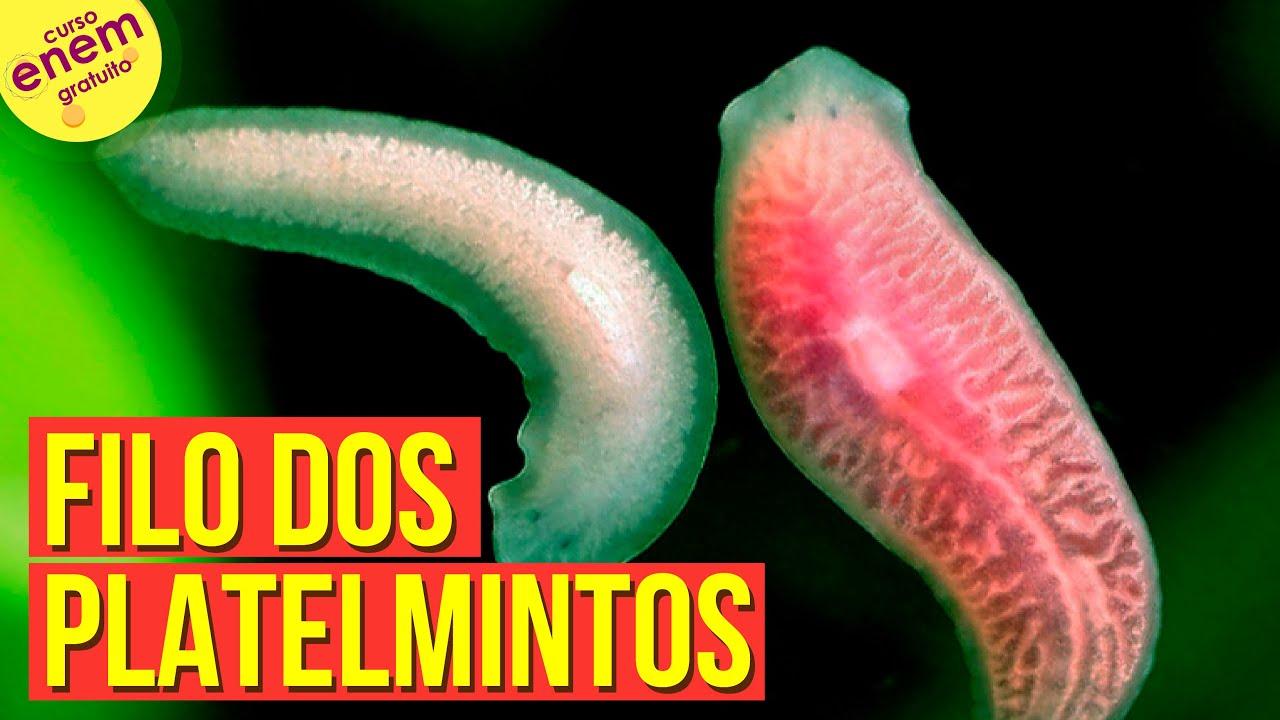 biológia Phylum Platyhelminthes hogyan lehet eltávolítani a parazitákat a hasnyálmirigyből