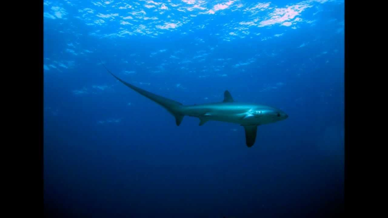 tiburón zorro   platanoquiere