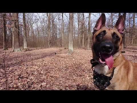 Belgian shepherd dog - malinois 'Archie'