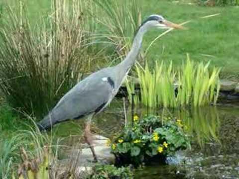 Heron Fishing In Garden Pond