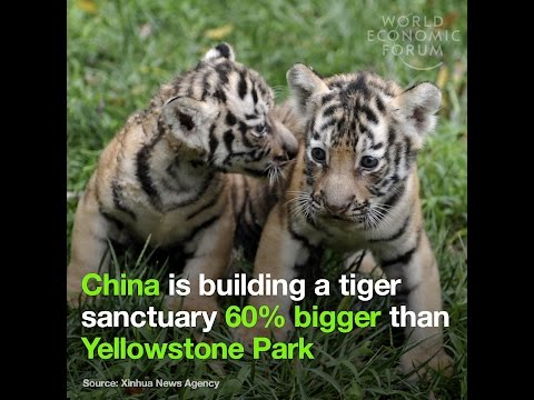 China is opening a massive national park to save tigers and leopards