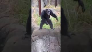 千葉市動物公園のチンパンジーは、手拍子すると踊ってくれるんです(笑)