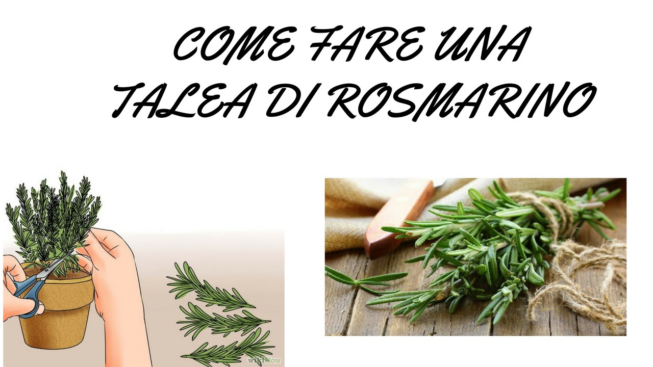 Come fare una talea di rosmarino youtube for Trapiantare rose