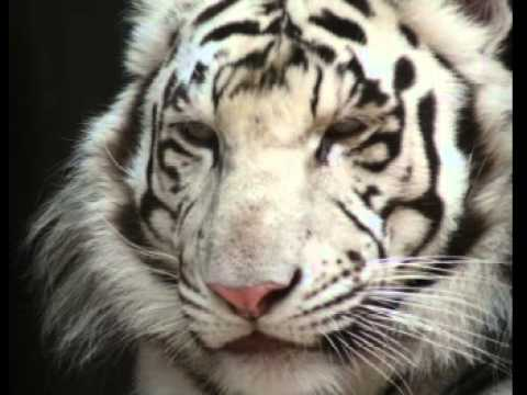 White Tiger Facts - Facts About White Tigers - YouTube