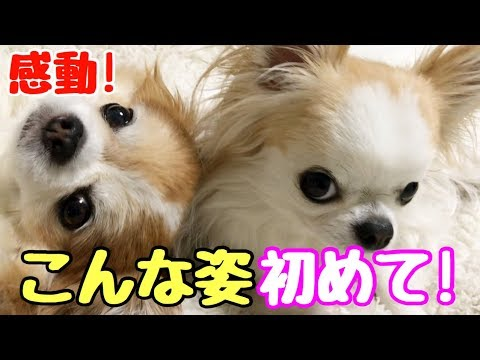 【感動!】ついにこの距離まで来たか!子犬チワワとシニア犬チワワ【かわいい犬】【chihuahua】【cute dog】【ペット動画】