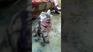 Видео с кошками КОТЁНОК НЯШКА