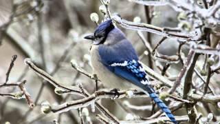 Звуки Природы.  Пение птиц - Сойка - Голоса птиц.