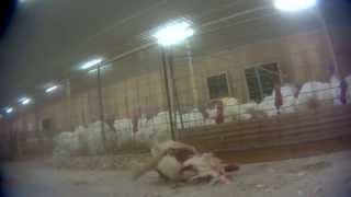 A new undercover investigation by Mercy For Animals Canada reveals workers beating, throwing, kicking, and clubbing animals at Hybrid Turkeys ? the country's largest turkey-breeding factory farm. Watch the video, then take action at www.TurkeyTorture.ca!