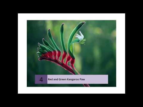 Red and Green Kangaroo Paw