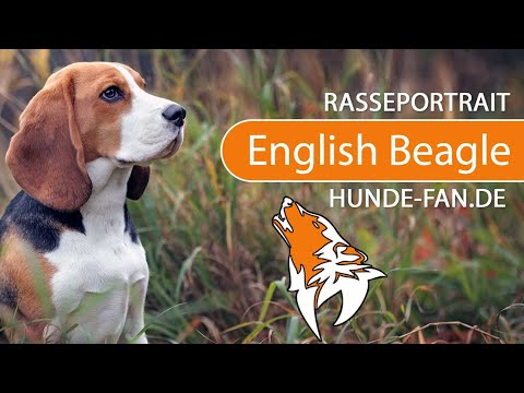 English Beagle [2018] Rasse, Aussehen & Charakter