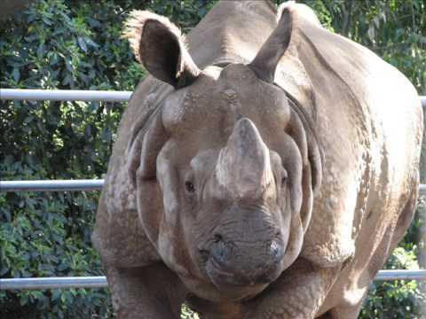 Indian rhinoceros calling nodding endangered species