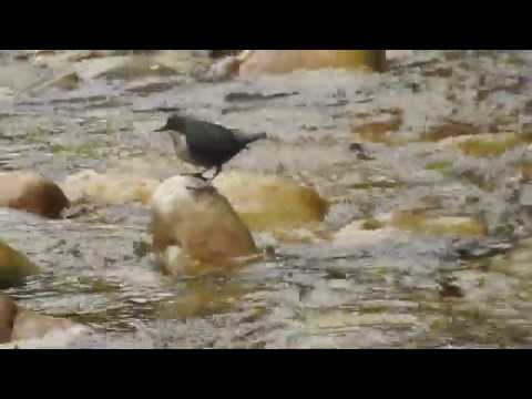 Mirlo acuático/White-throated dipper